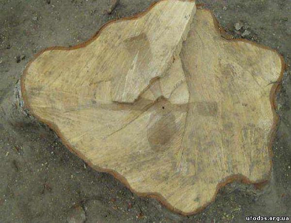 Изображения крестов в стволах деревьев: факты, закономерности, возможные объяснения  (10 фото)